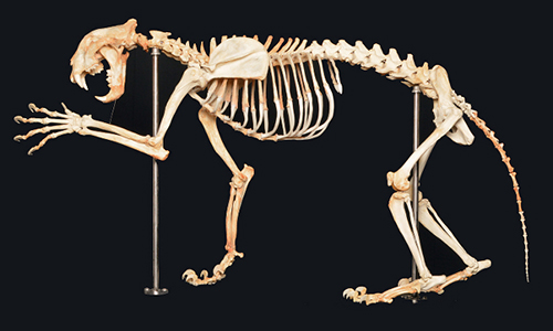 131203_tiger_skeleton_500x300