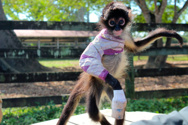 Spider Monkey, Izzie, with her arm bandaged after extensive surgery