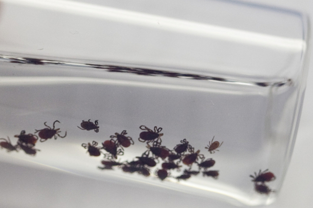 clear glass bottle with numerous deer tick captured for lyme disease research