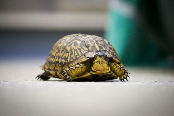 wildlife turtle being rehabed at Tufts Wildlife Clinic