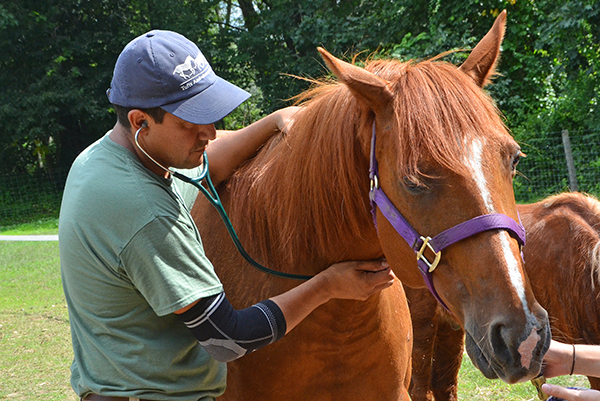 Dr. Alfredo Sanchez of Tufts Ambulatory Service examines a horse and floats its teeth.