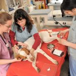 Veterinary students and technicians prepare a dog for exam