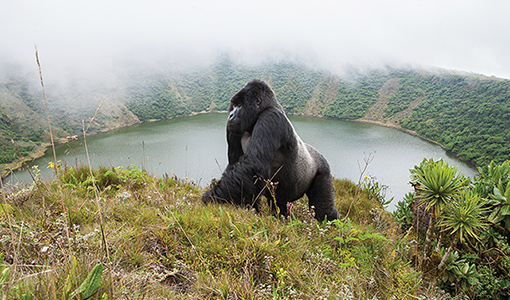 Bwenge, a young silverback mountain gorilla, surveys his surroundings from atop Mount Visoke, an extinct volcano in Rwanda.