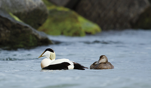 A pair of common eiders in Helgoland
