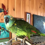 Photo courtesy of Foster Parrots - The New England Exotic Wildlife Sanctuary