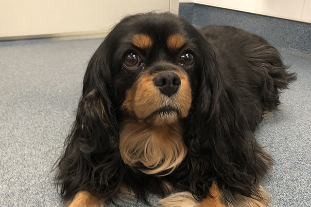 King Charles Cavalier lying on floor looking at camera