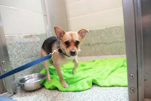 a little dog names cookie at the MSPCA waiting to be fostered during COVID-19 pandemic