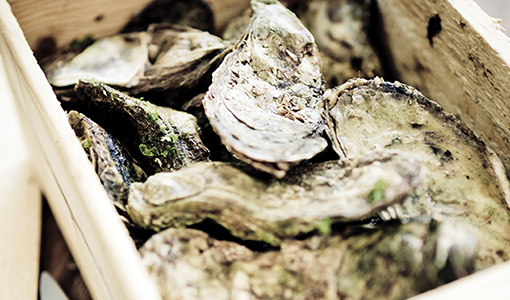 Fresh atlantic oysters from the Caraquet area of New Brunswick, in Canada. Sweet and buttery, raised in cold water.