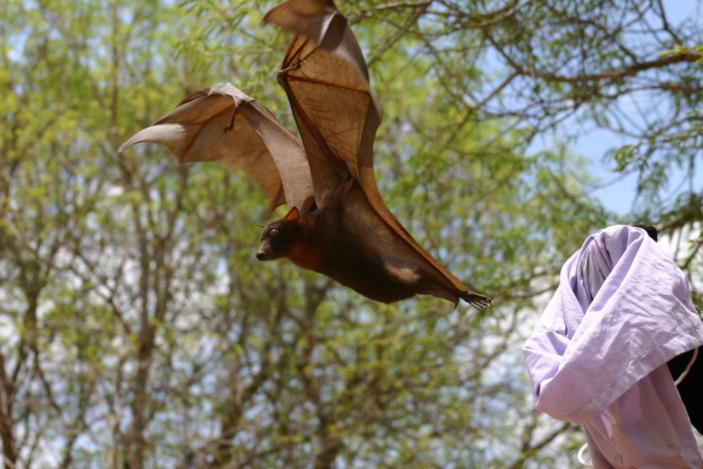 Dr. Plowright releasing a bat