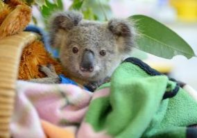 Koala being wrapped in blankets being cared for at Australia Zoo Wildlife Warriors