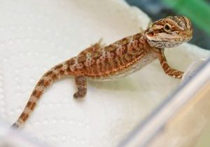 Pick-016-b-Crouton-the-Bearded-Dragon-lizard