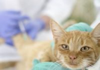 veterinary giving the vaccine to the little cat