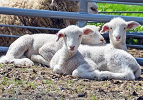 These lamb triplets are enjoying the warm sun.