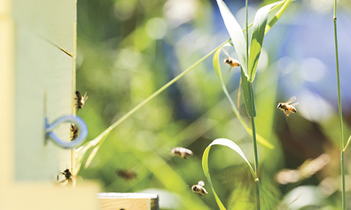 06/22/2017 - Grafton, Mass. - Rachael Bonoan, a Ph.D. candidate at Tufts studying honey bee nutrition, and her research assistants check on her hives on the Cummings School of Veterinary Medicine campus on June 22, 2017. (Anna Miller/Tufts University)