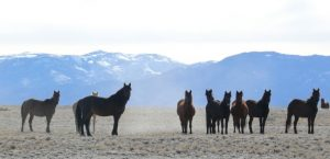 Horses in the western US