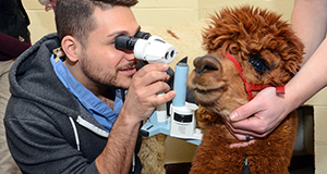 An Alpaca gets an eye exam from Ophthalmology Resident Dr. Alex LoPinto.