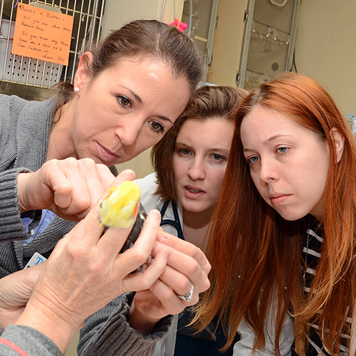 Students watch as Dr. Sophie Knafo examines a Cockatiel in the Zoological Companion Animal Medicine Department of the Foster Hospital.