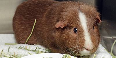 Guinea Pig at Foster