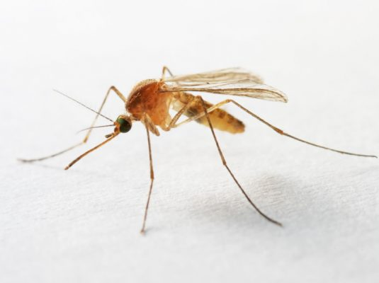 close-up of mosquito