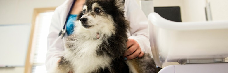 07/06/2016 - Grafton, Mass. - Erin Beaulieu, V17, examines Mickey, a fourteen-year-old Pomeranian cross participating in a heart valve stem cell trial at the Foster Hospital for Small Animals on July 6, 2016. (Alonso Nichols/Tufts University)