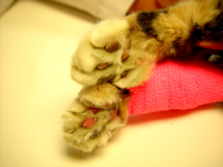 Cat showing cyanotic foot pads due to an aortic thromboembolism (ATE).