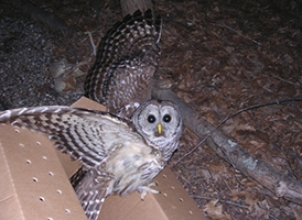 wildlife-case-barred-owl